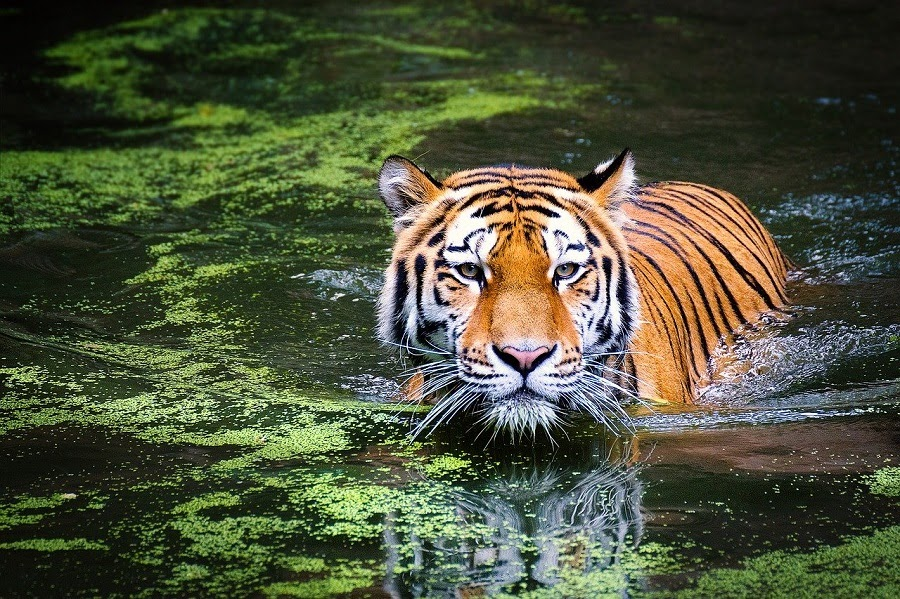 tigre jpg