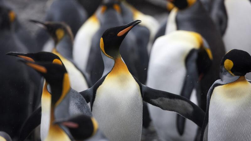 pingüino-pavoneándose-ss-1920